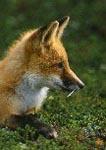 Red Fox near den