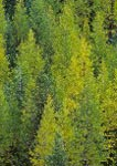 Western larch starting to turn color in autumn