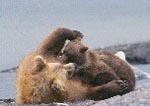 Brown bear sow nursing young