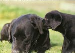 "Black Labrador retirever puppy ""whispering"" in ear of adult black Lab"