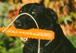 Black Labrador retriever with retriever dummy