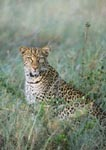 Leopard sitting in grass