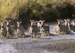 Common zebras migrating