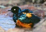 Superb Starling bathing