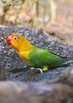 Fischer's Lovebird at waterhole