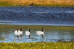 Black-necked swans on pond in south-central Uruguay, South America