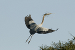 Great blue heron carrying a branch into his nest to present to his mate.