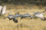 Greater sandhill cranes leaving roost pond in morning