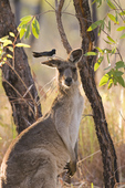 Willy wagtail perched on ear of eastern grey kangaroo