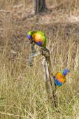 Rainbow lorikeet attempting to turn on water spigot