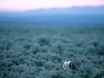 Male sage grouse on lek