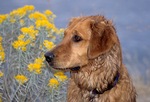 Adult golden retriever