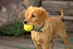 Golden retriever puppy with tennis ball