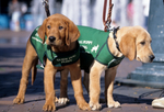 Golden retriever guide dog puppies in training