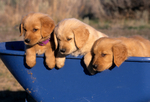 Golden retriever puppies in wheelbarrow