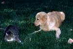 Golden retriever puppy playing with cat