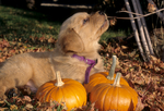 Golden retriever puppy chewing on branch above pumpkins