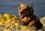 Golden retriever in blooming rabbitbrush