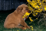 Golden retriever puppy playing with forsythia bush