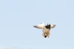 Mallard drake (Anas platyrhynchos) coming into decoys