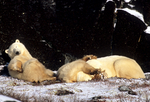 Polar bear family resting