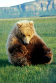Two-year-old brown bear sitting in sedge meadow