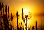 Goatsbeard seedheads at sunset