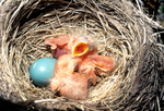 Newly hatched and hatching robins