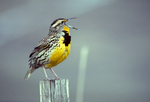Western meadowlark on fence post singing