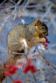 Eastern fox squirrel feeding on Viburnum berries