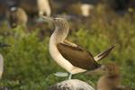 Blue-footed booby performing courtship dance on rock; Espanola Island, Galapagos Islands, Ecuador