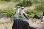 Blue-footed boobies (Sula nebouxii excisa) courting; Espanola Island, Ecuador