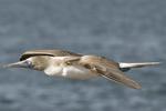 Blue-footed booby (Sula nebouxii excisa) flying along coast of Seymour Island; Galapagos Islands, Ecuador