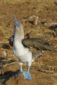 Blue footed booby (Sula nebouxii excisa)