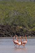 Greater flamingos (Phoenicopterus ruber) in lagoon; Floreana Island, Galapagos Islands, Ecuador