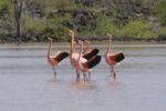 Greater flamingos (Phoenicopterus ruber) engaged in courtship behavior in lagoon, Floreana Island, Galapagos Islands, Ecuador