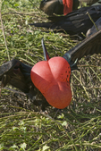 Male great frigatebird with inflated air sac during courtship and nesting; Genovesa Island, Galapagos Islands, Ecuador