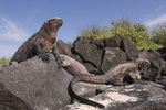 Marine iguanas (Amblyrhynchus cristatus) basking in the sun on Espanola Island, Galapagos Islands, Ecuador