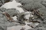 Marine iguanas (Amblyrhynchus cristatus) resting in tidepool on Santiago Island, Galapagos Islands, Ecuador