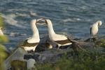 Nazca boobies (Sula granti) engaged in courtship; Espanola Island, Galapagos Islands, Ecuador