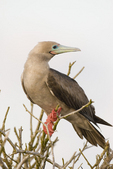 Red footed booby (Sula sula) perched in tree on Genovesa Island, Galapagos Islands, Ecuador.