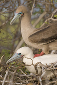 Red-footed boobies (Sula sula) mating in mangrove on Genovesa Island, Galapagos Islands, Ecuador.