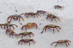 Sally Lightfoot crabs (Grapsus grapsus) on white sand beach; Baltra Island, Galapagos Island, Ecuador