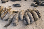 Galapagos sea lions (Zalophus californianus) resting on beach on Baltra Island, Galapagos Islands, Ecuador