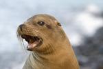 Female Galapagos sea lion (Zalophus californianus), Baltra Island, Galapagos Islands, Ecuador