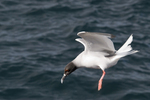 Swallow-tailed gull (Larus furcatus) preparing to land; South Plaza Island, Galapagos Islands, Ecuador