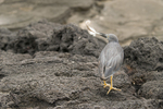 This heron is taking the feather to his mate sitting on a nest; Santiago Island, Galapagos Islands, Ecuador  (Butorides striatus)