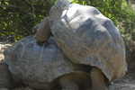 Giant tortoises mating (captive); Darwin Research Station, Santa Cruz Island, Galapagos Islands, Ecuador (Geochelone elephantopus)