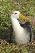 Waved albatross (Diomedea irrorata) on nest on  Espanola Island, Galapagos Islands, Ecuador