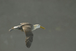 Waved albatross (Diomedea irrorata) in flight, Espanola Island, Galapagos Islands, Ecuador